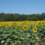 De zonnebloemen in bloei in Frankrijk in de zomer