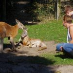Cerza bij kangaroos