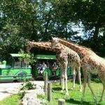 Cerza giraf bij trein