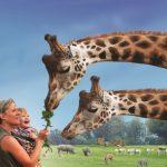 Cerza giraffen