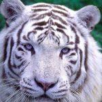 Cerza tijger